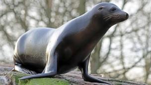 """Seelöwe """"Emmet"""" aus Karlsruher Zoo zieht nach England in Banham Zoo"""