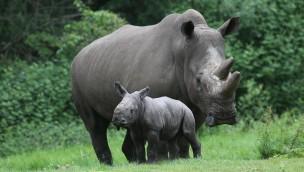 Burgers' Zoo erwartet achte Nashorn-Geburt: Vorreiterrolle in europäischer Nashorn-Zucht