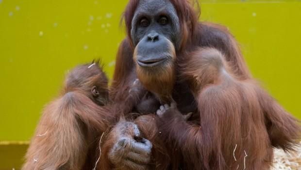 Orang Utsan Nachwuchs Tierpark Hellabrunn