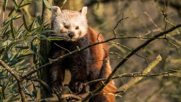 Roter Panda im Erlebnis-Zoo Hannover
