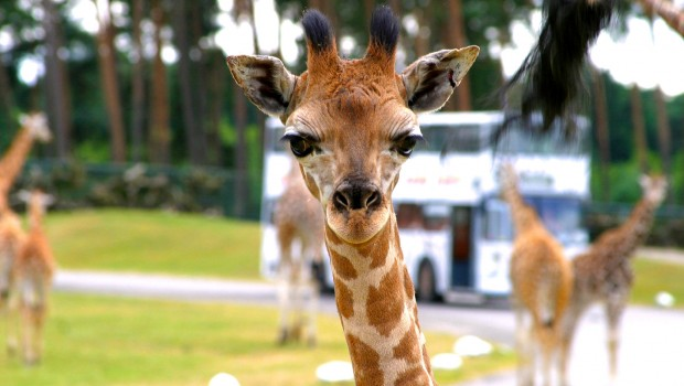 Serengeti-Park Giraffe Safaribus