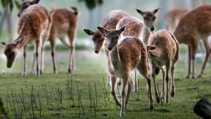Tiere im Wildpark Schwarzach - Damwild Herde