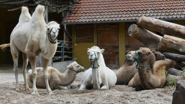 Trampeltiere im Zoo Heidelberg