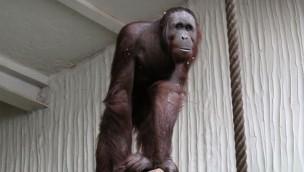 "Neues aus dem Dschungeltempel im Zoo Osnabrück: ""Damai"" soll 2018 ein Orang-Utan-Weibchen bekommen"
