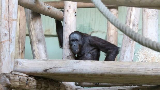 Zoo Osnabrück neuer Orang-Utan Damai
