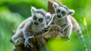 Affenpark Apenheul: Neun Affen-Babys zum Saisonstart 2018 zu entdecken