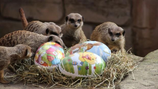 Erdmännchen zu Ostern im Erlebnis-Zoo Hannover