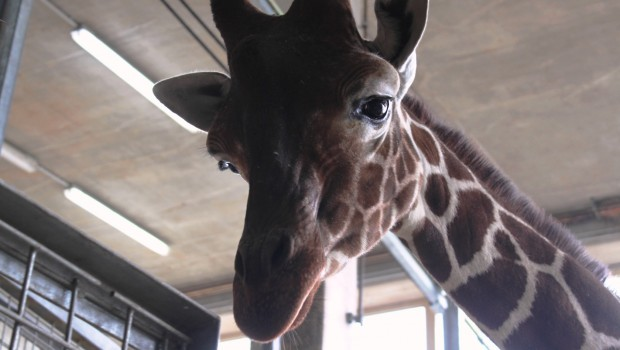 Giraffe Dayo Zoo Osnabrück