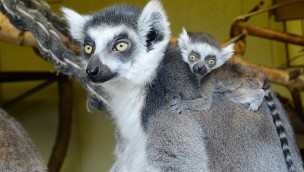 Katta-Babys im Jaderpark zu entdecken: Zwillingsgeburt im Frühjahr 2018