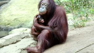 "Zoo Rostock: Orang-Utan-Nachwuchs wird ""LinTang"" getauft"