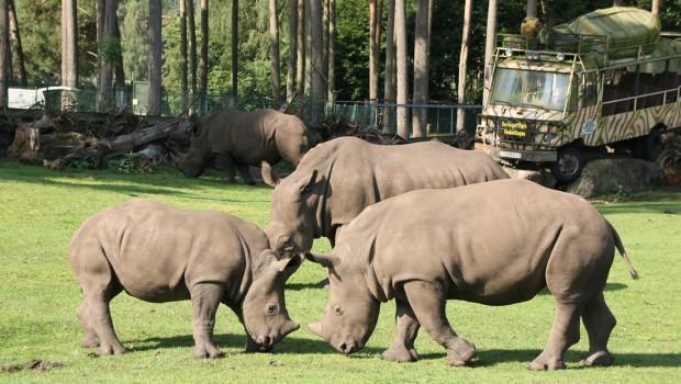 Nashörner im Serengeti-Park