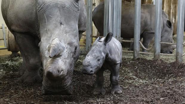 Nashorn-Baby Naomi in Burgers Zoo 2018 mit Mutter