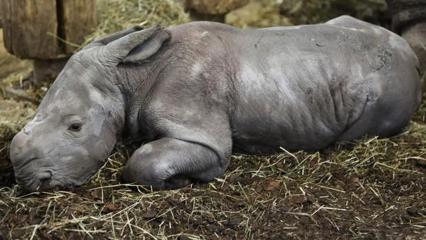 Nashorn-Geburt in Burgers Zoo Baby 2018