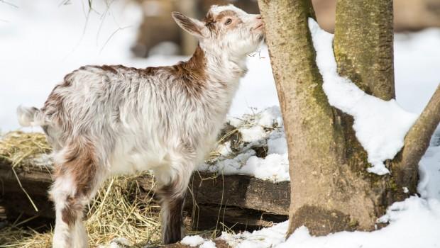 Tierpark Hellabrunn 2018 Girgentana