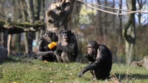 Zoo Magdeburg Schimpansen