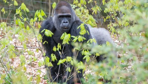 Affenpark Apenheul Gorilla Bao Bao