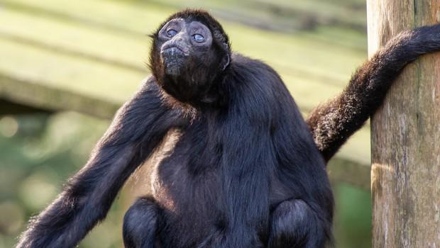 Affenpark Apenheul - Klammeraffe 50 Jahre alt