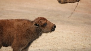 Bison-Baby im Erlebnis-Zoo Hannover