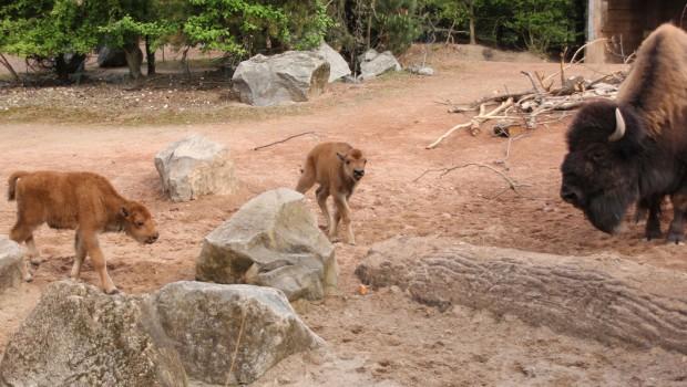 Bison-Nachwuchs im Erlebnis-Zoo Hannover im Frühjahr 2018