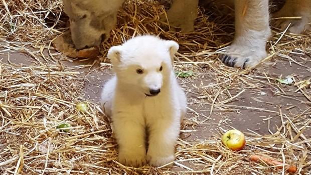 Eisbär-Baby Zoom Erlebniswelt im April 2018