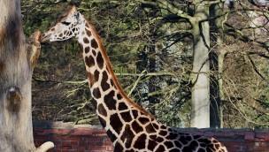 """Erlebnis-Zoo Hannover begrüßt """"Niobe"""": Vierjährige Giraffe kommt aus Tschechien"""