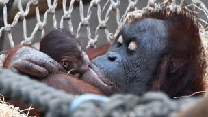 """Zoo Rostock: Orang-Utan-Baby im """"Darwineum"""" kam vor den Augen der Besucher zur Welt"""