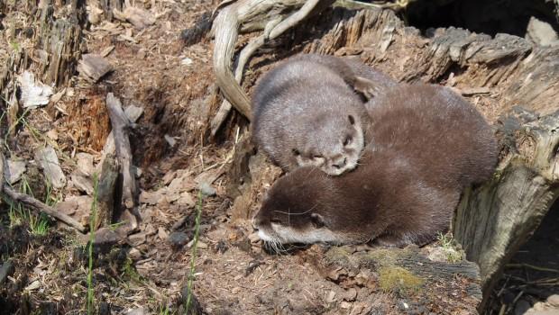Schmusende Otter im SEA LIFE Oberhausen