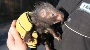 Stachelschwein-Baby im Zoo Osnabrück geboren: Erster Nachwuchs seit vier Jahren