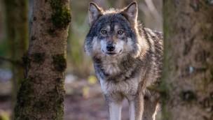 Tag des Wolfes 2018 im Tierpark Hellabrunn: 1. Mai mit Aktionsstand