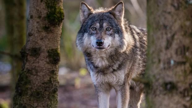Tierpark Hellabrunn Europäischer Wolf