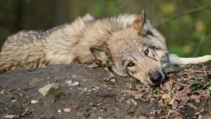 """Willkommen Wolf"" im Allwetterzoo Münster 2018: NABU-Aktionstag am 30. April"