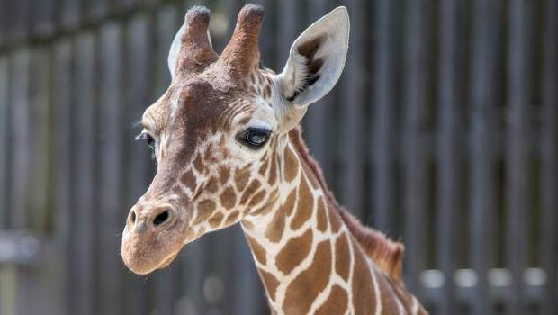 Zawadi Giraffe im Tierpark Hellabrunn