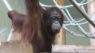 """Orang-Utan-Gruppe im Zoo Osnabrück durch Weibchen """"Dayang"""" komplettiert"""