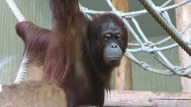 Zoo Osnabrück Orang Utan Dayang