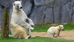 """ZOOM Erlebniswelt: Kleiner Eisbär """"Nanook"""" macht ersten Ausflug"""