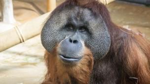 """""""Jambi"""" verlässt Erlebnis-Zoo Hannover: Orang-Utan zieht nach New Orleans"""