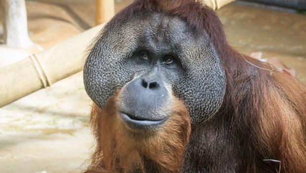 Jambi Erlebnis-Zoo Hannover Orang-Utan