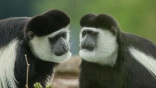 """Zoo Osnabrück sucht """"Ofina"""" und """"Kimberly"""": Affen aus Gehege entwichen"""