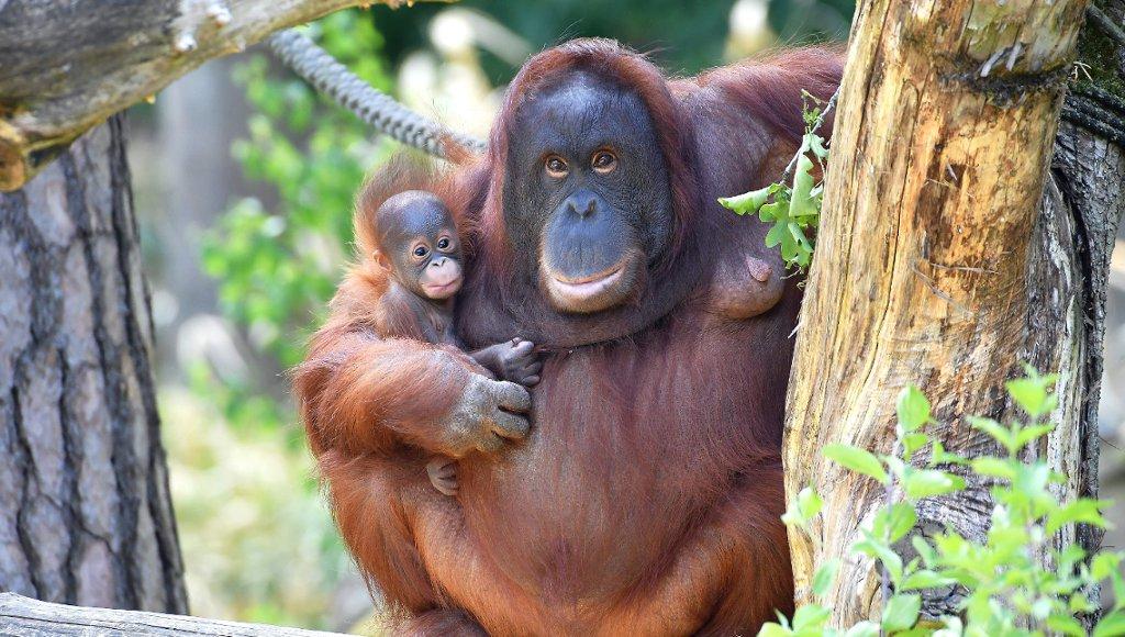 Orang-Utan-Mama Miri Zoo Rostock