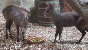 """Zoo Osnabrück: Ein Weibchen für Schopfhirsch """"Klausi"""", Impala-Nachwuchs und Abschied von Elefanten"""