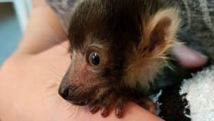 Tier- und Freizeitpark Thüle: Vari-Äffchen wird mit der Hand aufgezogen
