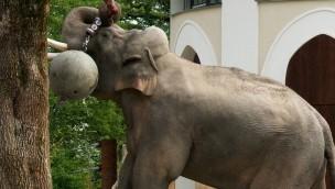Tierpark Hellabrunn schafft neue Herausforderungen für Elefanten