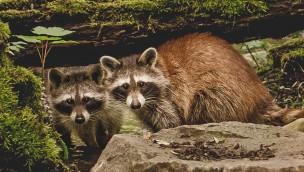 Waschbären neu in Hellabrunn: Münchner Tierpark begrüßt neue Tierart