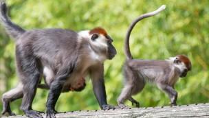 Affenpark Apenheul Nachwuchs Rotkopfmangaben