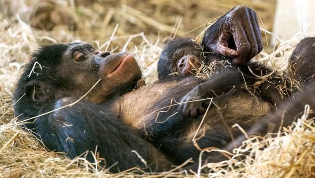 Affenpark Apenheul Nachwuchs Bonobo