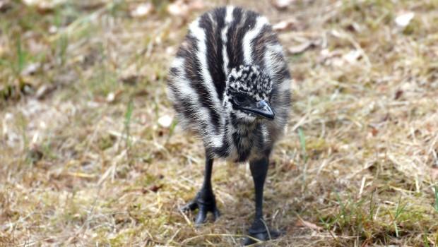 Emu-Küken im Zoo Rostock