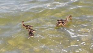 Jaderpark: 15 Enten aus Tier- und Freizeitpark in Jaderberg gestohlen