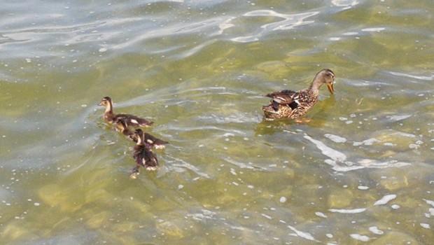 Enten auf Wasser