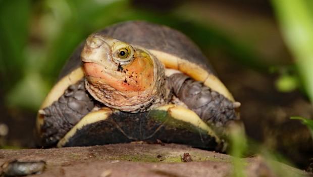 Gelbrand-Scharnierschildkröte im Zoo Karlsruhe