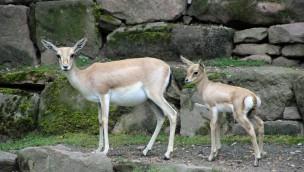 Zoo Karlsruhe: Jungtiere bei Kropfgazellen und Zwergflamingos